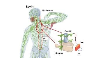 Ter bezleri ve Otonom sinir sistemi