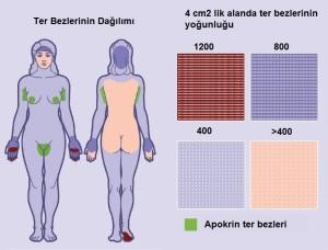 Ter bezleri ve vücutta dağılımları