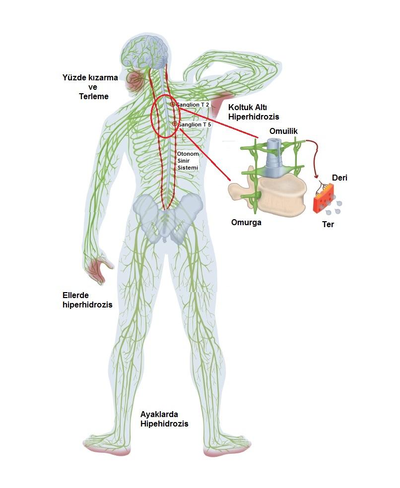 Ter bezlerinin Otonom sinir sistemi kontrolü