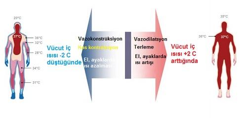 Terleme fizyolojisi 2.jpg
